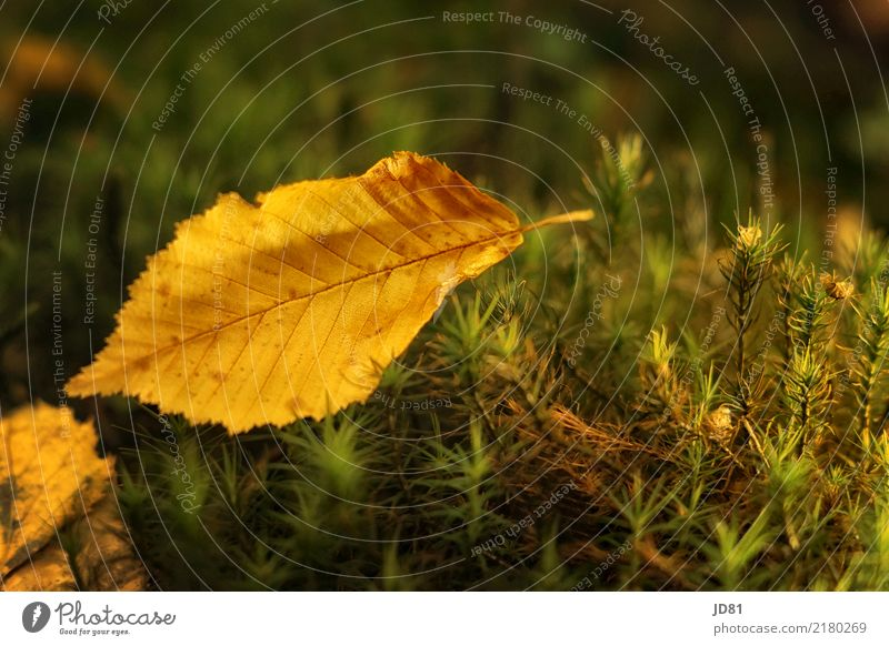 autumn leaf Nature Animal Autumn Beautiful weather Moss Leaf Forest Friendliness Natural Warmth Soft Multicoloured Yellow Green Autumn leaves Colour photo