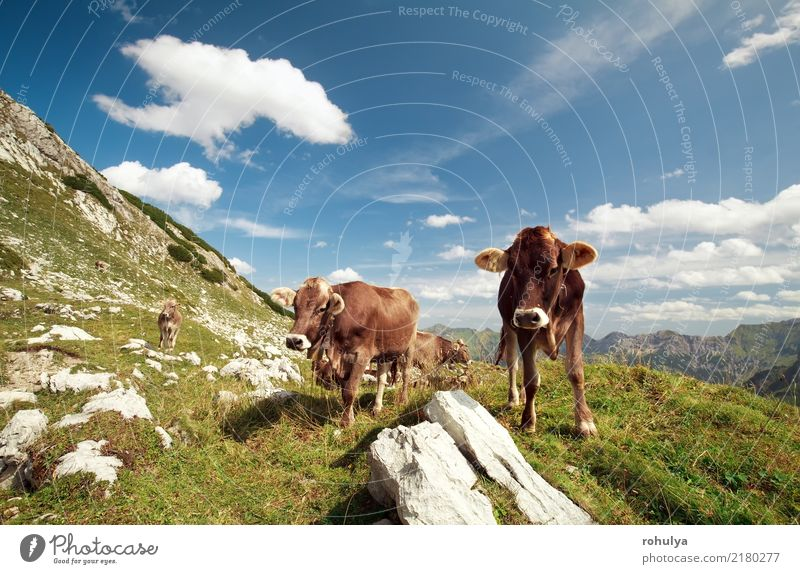 alpine cows in mountains on sunny day Mountain Nature Landscape Animal Sky Clouds Summer Beautiful weather Grass Meadow Rock Alps Farm animal Cow