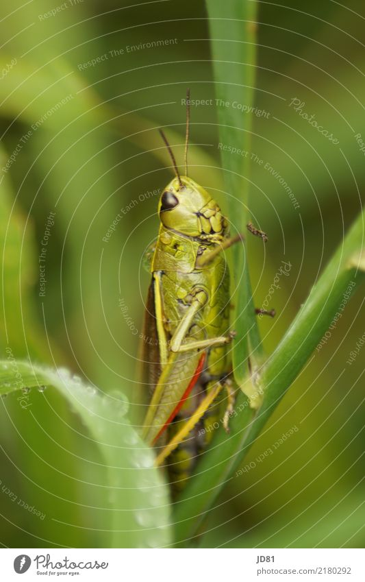 Wet grasshopper Drops of water Weather Rain Plant Foliage plant Animal Animal face 1 Observe Jump Wait Natural Curiosity Cute Green Red Locust Colour photo