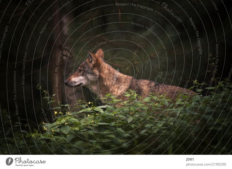 wild wolf Nature Summer Forest Animal Wild animal Animal face Pelt Zoo 1 Observe Brown Green Wolf Colour photo Subdued colour Exterior shot Copy Space right