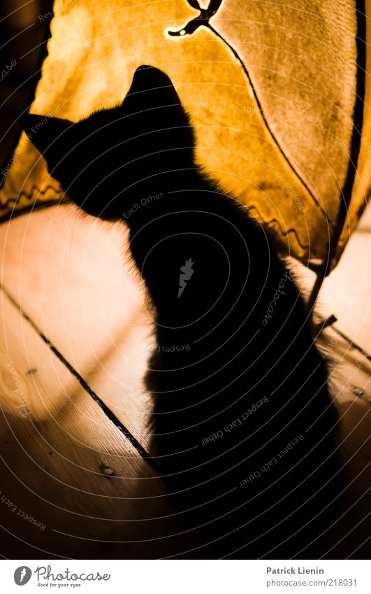 Beautiful Animal Playing Wood Lamp Cat Fear Funny Search Speed Wild Ear Observe Curiosity Pelt