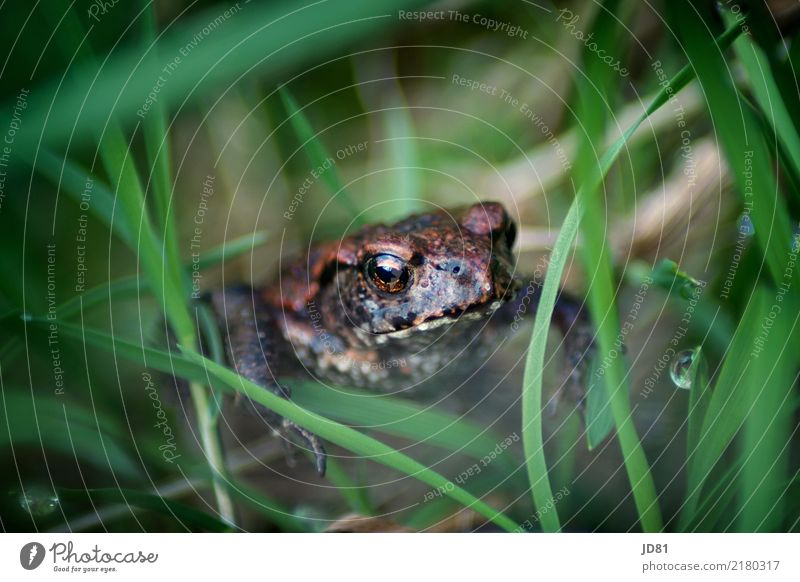Kiss him and he'll be a prince. Nature Animal Drops of water Spring Summer Plant Grass Garden Meadow Frog Animal face 1 Baby animal Crouch Sit Wait Simple Near