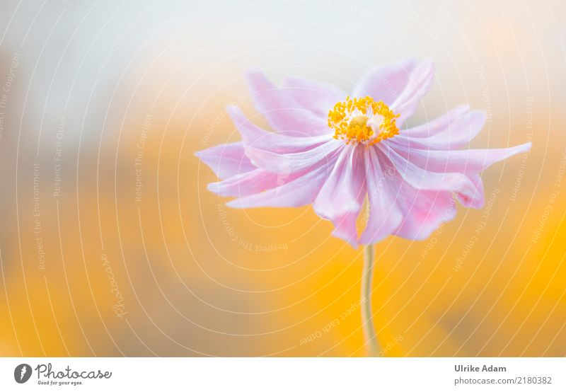 Autumn Anemone Elegant Harmonious Well-being Contentment Relaxation Calm Meditation Decoration Wallpaper Image Poster Nature Plant Summer Flower Blossom
