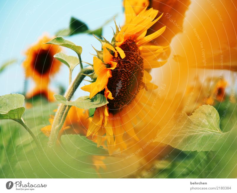 for steffne... Nature Plant Sky Summer Beautiful weather Flower Leaf Blossom Sunflower Field Wild animal Bee Blossoming Fragrance Flying To feed Illuminate