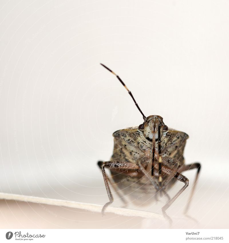 Nature Animal Gray Brown Cleaning Animal face Feeler Bug Looking Looking into the camera Shield bug Bright background