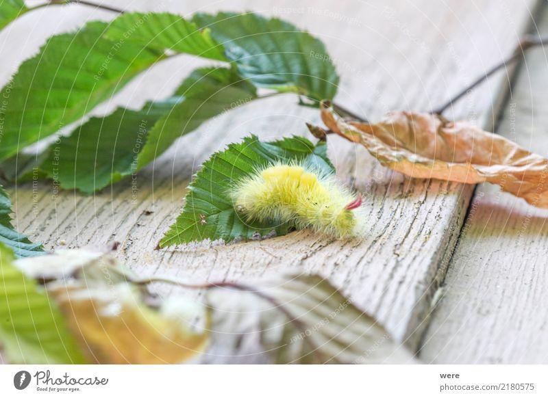 beech stretch foot caterpillar Nature Animal Butterfly Fantastic Bizarre Environmental protection Habitat Beech Stretch Foot Beech Redstart Calliteara pudibunda