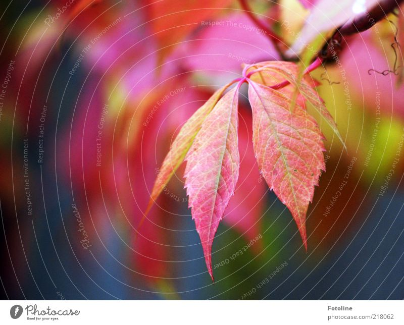 Nature Plant Red Leaf Autumn Environment Bright Natural Stalk Autumn leaves Tendril Rachis Autumnal Twigs and branches Creeper