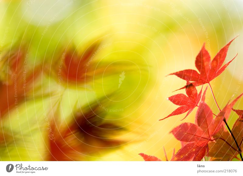 opposite autumn leaves Environment Nature Plant Autumn flaked Yellow Red Transience Change Japan maple tree Colour photo Deserted Copy Space top