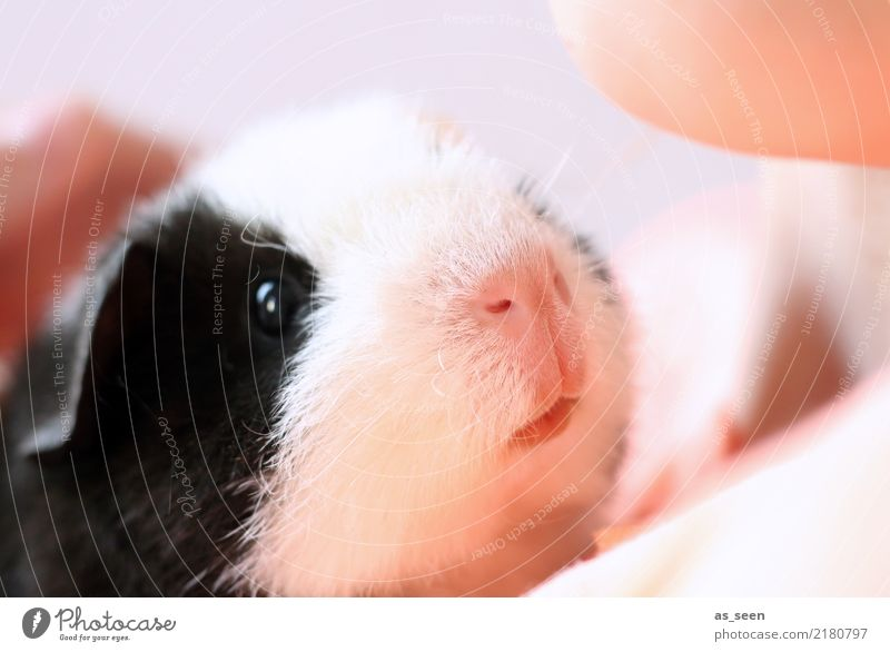 White Animal Black Eyes Emotions Small Pink Infancy Communicate Cute Curiosity Soft Nose Protection To hold on Pet