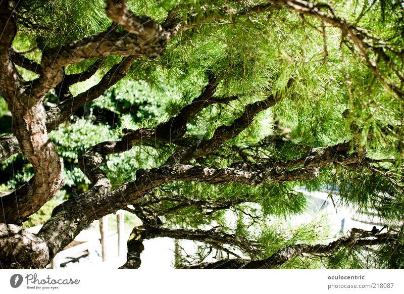 Tree Green Plant Summer Style Growth Asia Japan Japanese Bonsar Kyoto Japanese garden
