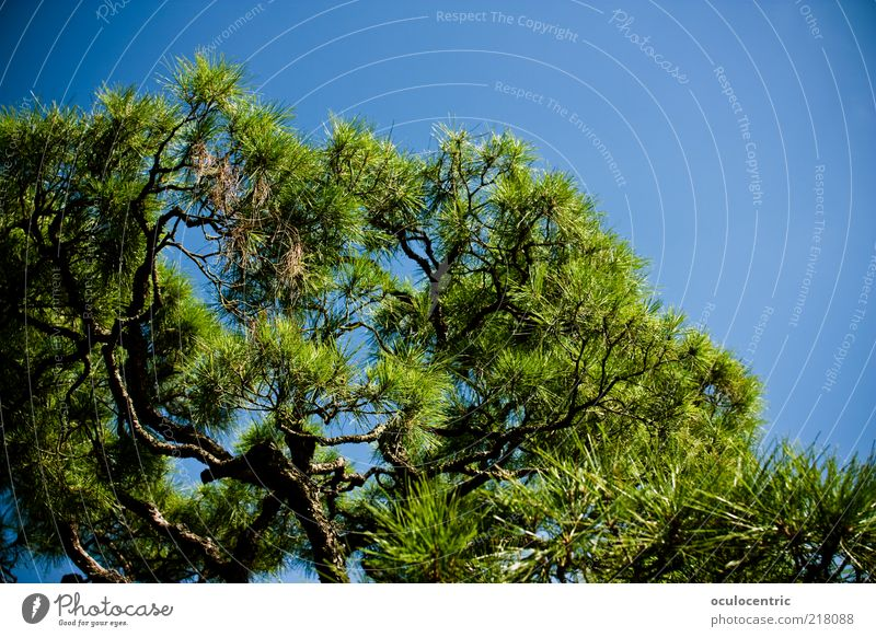 wax Nature Plant Sky Cloudless sky Summer Tree Exotic Park Asia Japan Kyoto Relaxation Growth Blue sky Japanese garden Vignetting Colour photo Exterior shot Day