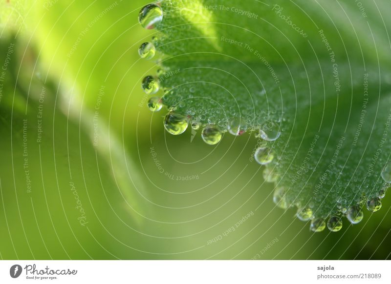 water pearls Environment Nature Plant Elements Water Drops of water Leaf Foliage plant Esthetic Green Dew Colour photo Exterior shot Close-up Detail