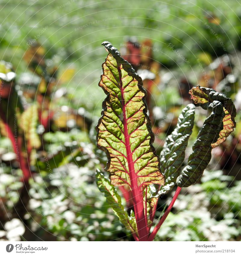 Mangold red-green Plant Leaf Foliage plant Agricultural crop Vegetable Vegetable bed Green Red Translucent Bright green Bright Colours Rachis Market garden