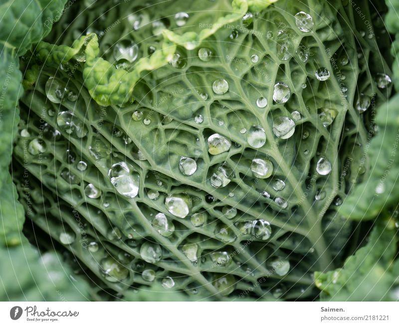 Wassertropfen auf dem Wirsing Natur Gemüse Gesunde Ernährung gesund natürlich Nahrungsmittel Anbau Garten Green vegetarisch vegan Essen Healthy Eating