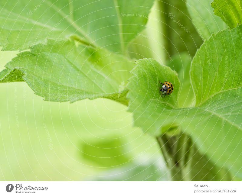 Langer Marsch des Marienkäfers Käfer Insekt krabbeln Laufen Blatt grün Nature Garten Colour photo Pflanze Close-up Gemüse Tier Sommer Punkte gepunktet klein