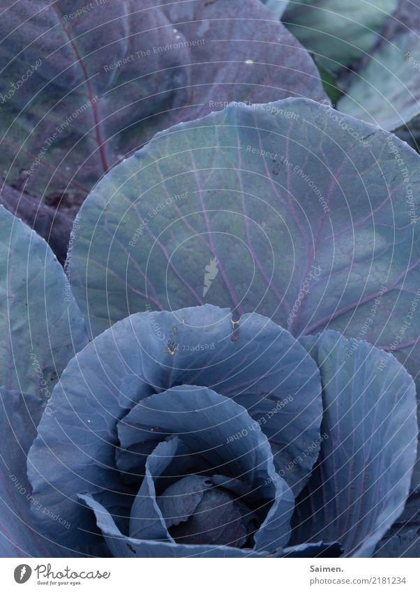 Rotkohl Kohl Garten Wachstum Pflanze Natur Gemüse vegetarisch vegan organisch bio bio Gemüse Anbau Nahrung Ernährung gesund gesunde Ernährung Detail Fresh