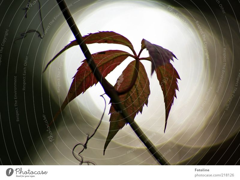 Spot on! Environment Nature Plant Elements Sky Autumn Dark Bright Natural Virginia Creeper Tendril Back-light Colour photo Exterior shot Close-up Deserted