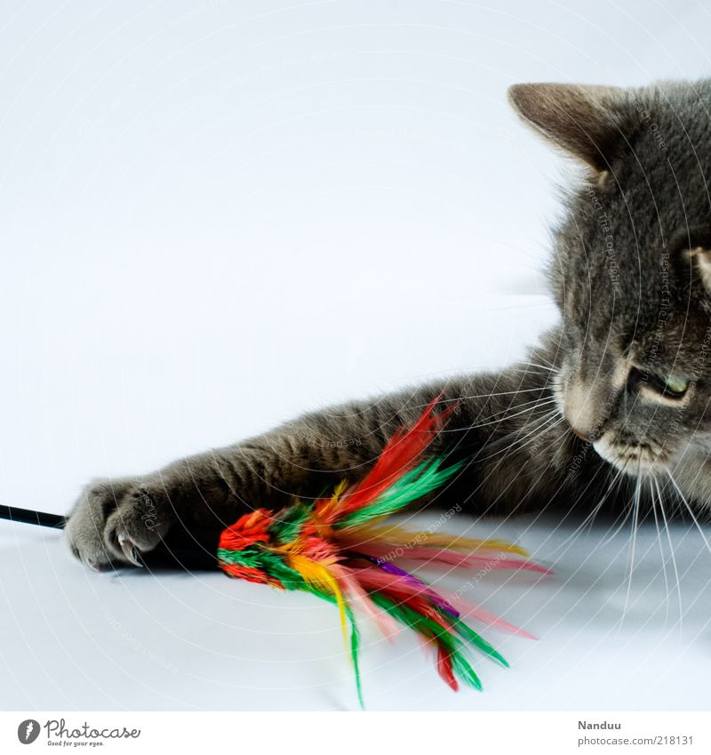 Animal Playing Gray Cat Toys To hold on Paw Pet Claw Whisker Leisure and hobbies Copy Space left Baby animal Play instinct