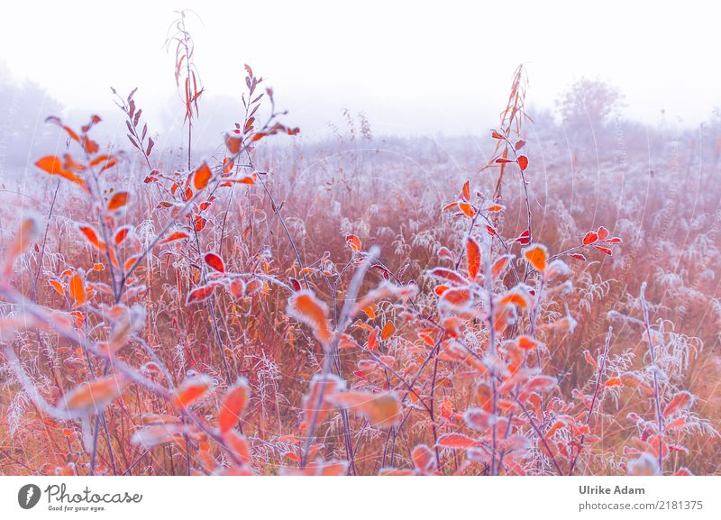 Nature Plant White Landscape Red Leaf Winter Environment Autumn Interior design Meadow Style Grass Design Orange Fog