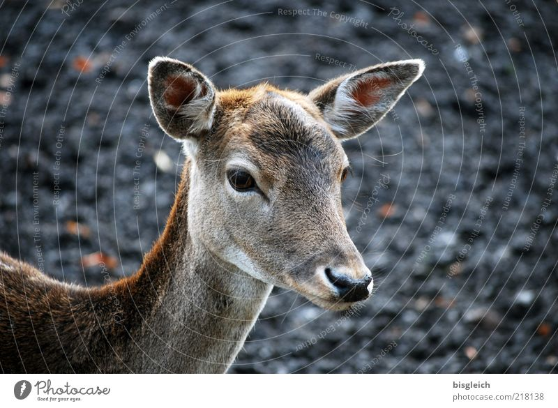 Calm Animal Eyes Baby animal Nose Wild animal Ear Animal face Pelt Watchfulness Roe deer Attentive Fawn