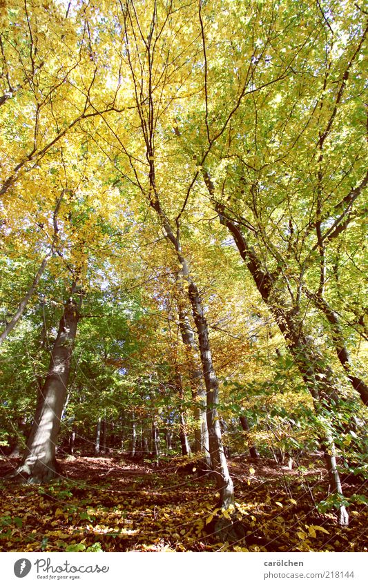 beech forest Environment Nature Landscape Autumn Tree Forest Brown Yellow Green Beech wood Copper beech Autumnal colours Automn wood Leaf canopy Harz Wild