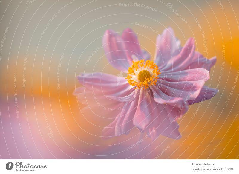 Autumn Anemone (Anemone hupehensis) Wellness Harmonious Relaxation Calm Meditation Arrange Decoration Wallpaper Image Poster Nature Plant Sun Summer Flower