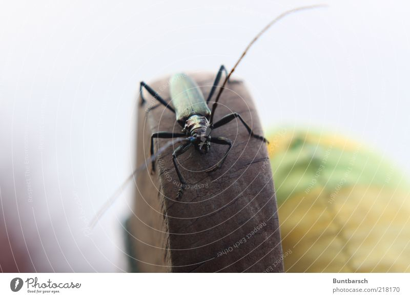 musk buck Backrest seat cushions Bolster Nature Animal Beetle Musk beetle Longhorn beetle Insect Hexapod Feeler Legs 1 Crawl Green Colour photo Exterior shot