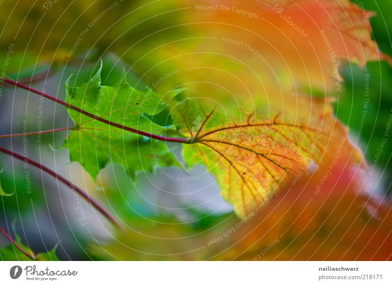autumn Nature Plant Autumn Tree Leaf Maple tree Maple leaf Esthetic Colour photo Multicoloured Exterior shot Deserted Day Shallow depth of field Autumn leaves