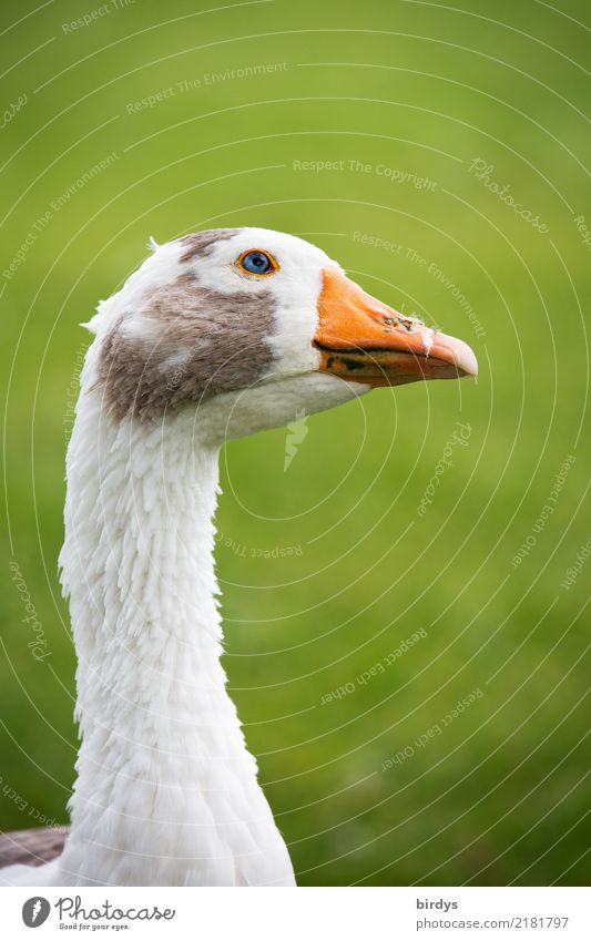 inquisitiveness Meadow Farm animal Goose 1 Animal Observe Looking Esthetic Free Astute Funny Natural Positive Smart Gray Green Orange White Contentment