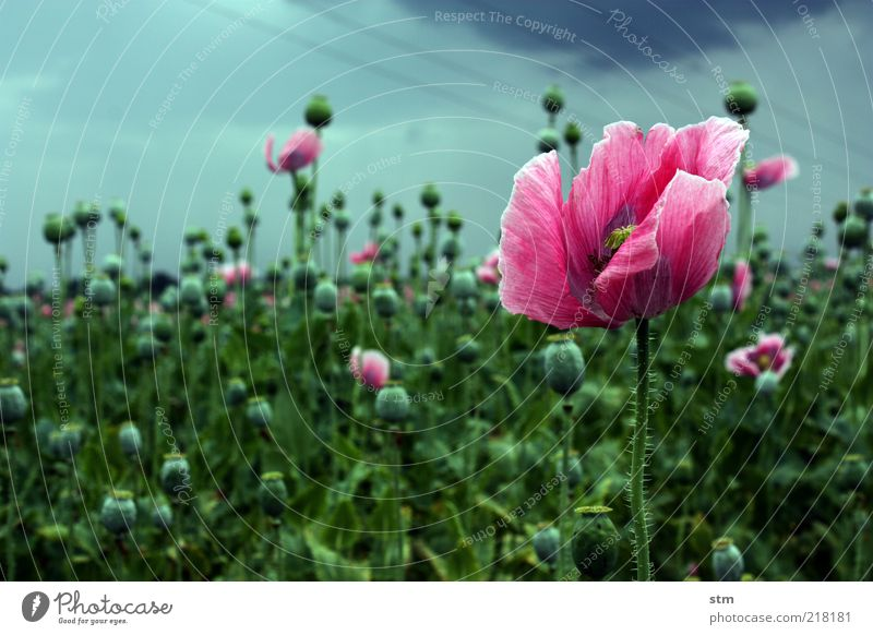 Nature Flower Plant Blossom Landscape Field Pink Esthetic Change Transience Delicate Poppy Harmonious Herbaceous plants Bad weather Agricultural crop