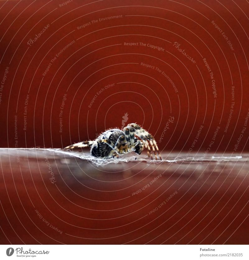 4+4 Environment Nature Animal Autumn Garden Forest Wild animal Spider 1 Large Near Natural Brown Cross spider Spider's web Spider legs Colour photo