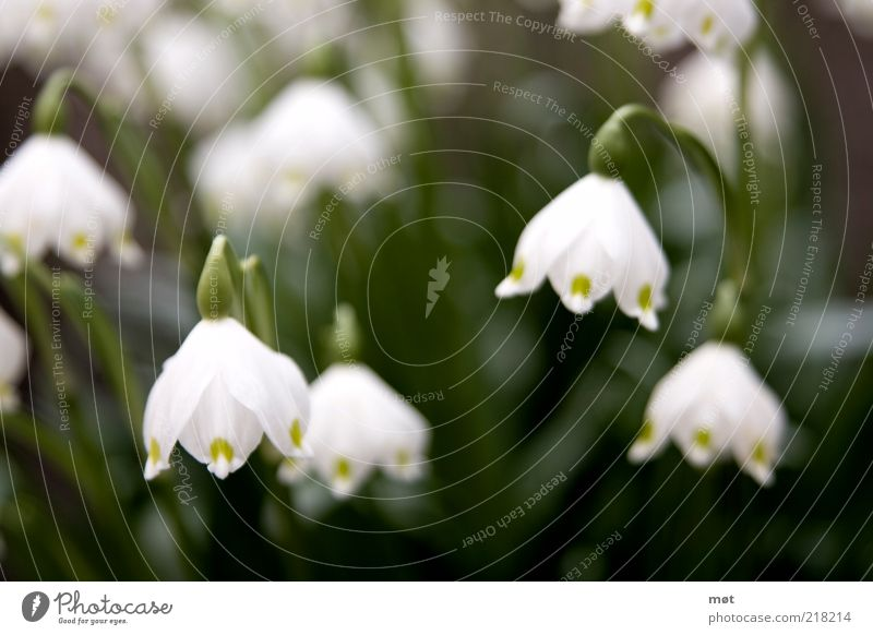 Let one's head hang Environment Nature Plant Summer Flower Blossom Hang Green White Beautiful Snowdrop Colour photo Exterior shot Deserted Day Blur