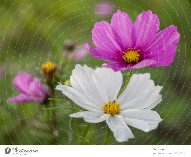 Blumenblüte Blüte Blütenblatt Garten blühen Sommer Blumenwiese pink weiss natur pflanze Colour photo Detail
