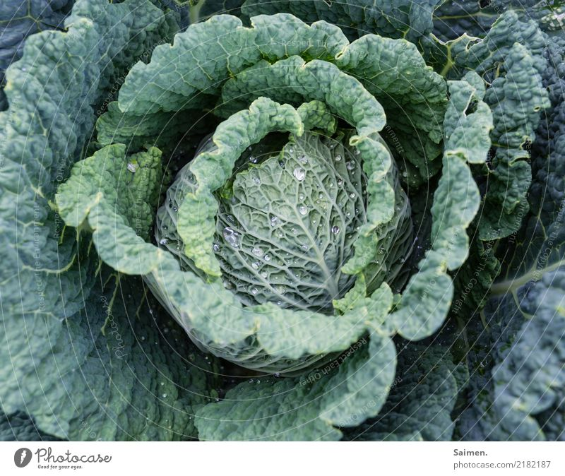 savoy cabbage Cabbage Vegetable Nutrition salubriously Healthy Eating Extend plants Essen food biography vegetarian more vegan Garden Delicious Vitamin Organic