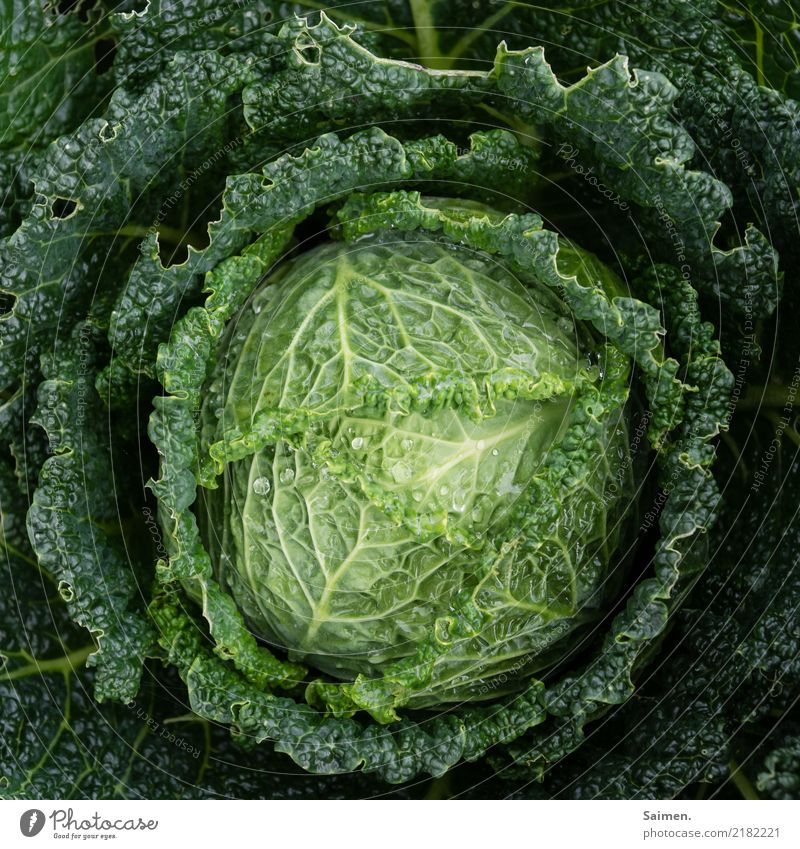 savoy cabbage Cabbage salubriously Healthy Eating Essen Nutrition Green Garden do gardening Food Drops of water vegetarian vegan organic Delicious Fresh