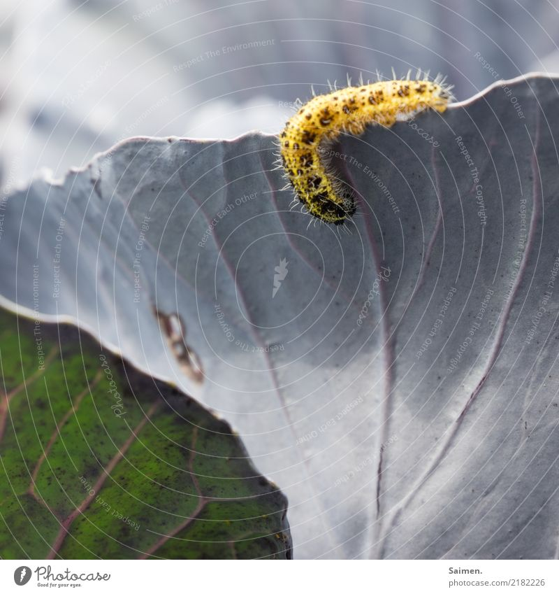 insatiable appetite Nature Summer Plant Agricultural crop Garden Animal 1 Fresh Caterpillar Red cabbage Red cabbage leaf To feed Appetite Structures and shapes