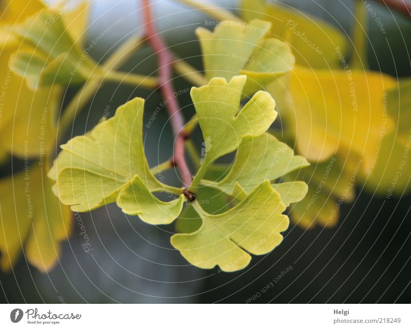 ginkgo Environment Nature Plant Autumn Leaf Exotic Twig To dry up Growth Esthetic Small Natural Green Uniqueness Transience Healthy Yellow Ginko Colour photo
