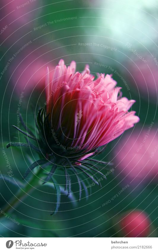 daydream in pink Nature Plant Flower Leaf Blossom Garden Park Meadow Blossoming Fragrance Beautiful Green Pink Aster Colour photo Exterior shot Close-up Detail