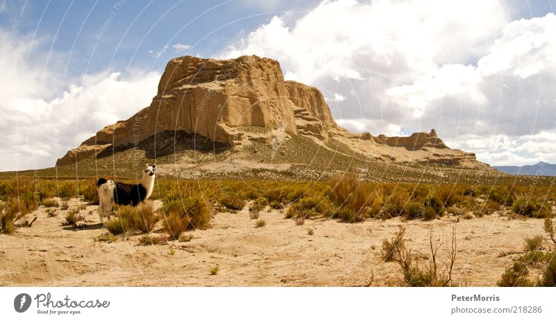 Lama in Tupiza Beautiful Sky Clouds Animal Sadness Sand Landscape Together Earth Safety Happiness Desert Trust Longing Peak Safety (feeling of)