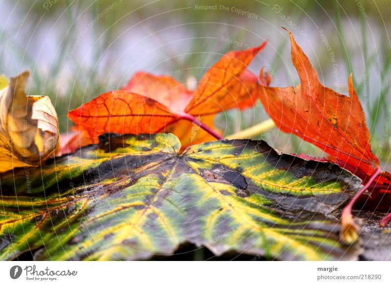 Colourful autumn leaves in the grass Environment Nature Drops of water Autumn Climate Grass Leaf Old Faded Gloomy Brown Multicoloured Yellow Green Red Emotions