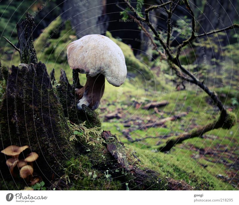 Tree stump al funghi Environment Nature Plant Earth Autumn Moss Mushroom Forest Dark Large Wet Natural Mushroom cap Colour photo Exterior shot Deserted Day