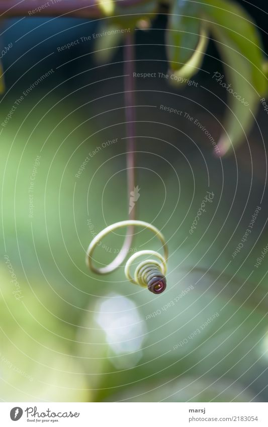 Tone-in-tone hanging spiral. Nature Plant Tendril Part of the plant Spiral Hang Thin Authentic Green Rotated Exceptional Simple 1 Smooth Smoothness Colour photo