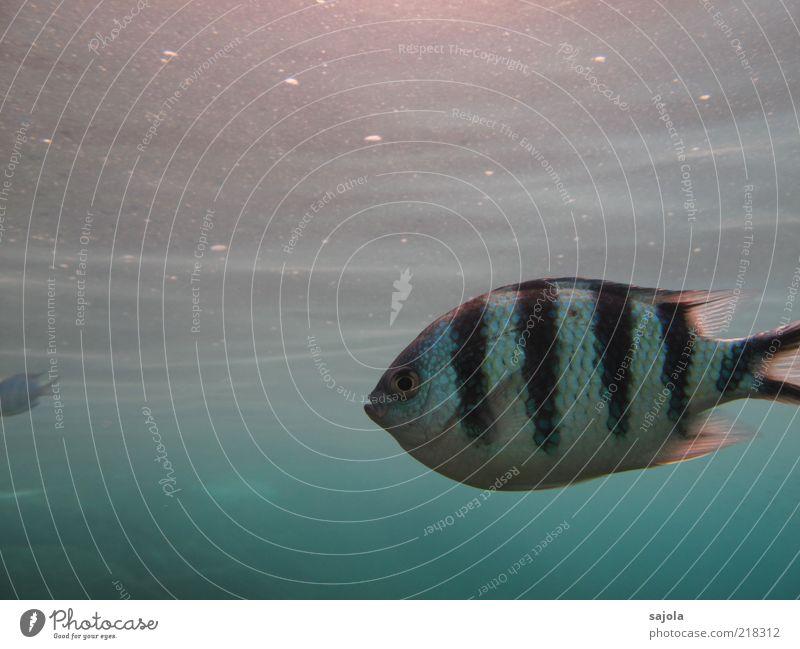 Nature Water White Ocean Blue Black Eyes Animal Environment Fish Stripe Wild animal Elements Facial expression Striped