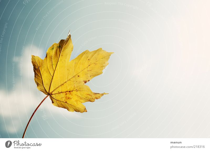 maple leaf trend-setting Nature Sky Autumn Beautiful weather Leaf Autumnal Autumnal colours Autumnal weather Autumn leaves Rachis Fresh Bright Above Clean