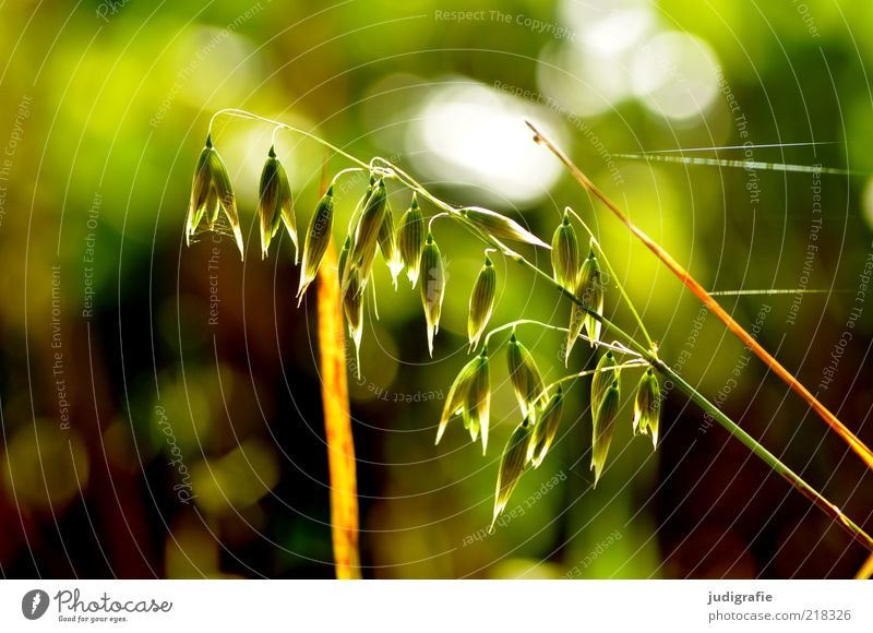 grass Environment Nature Plant Sunlight Grass Blossoming Illuminate Growth Natural Beautiful Wild Green Moody Delicate Colour photo Exterior shot