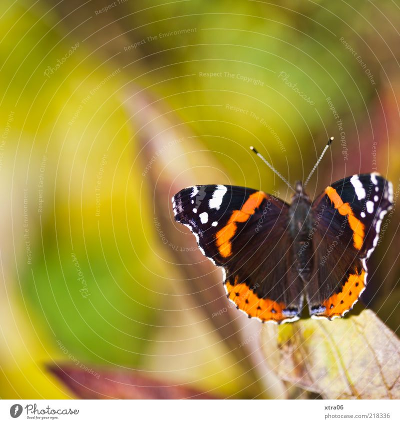 today the sun is shining again Animal Butterfly 1 Green Summer Spring Colour photo Exterior shot Close-up Detail Copy Space top Sunlight Copy Space left Wing