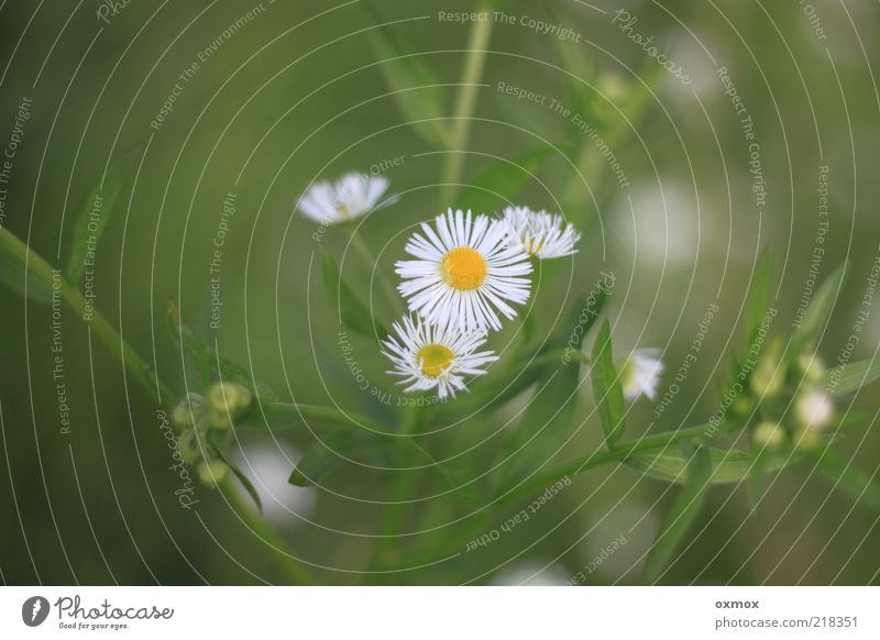 By the wayside Nature Plant Summer Flower Leaf Blossom Wild plant Meadow Fresh Healthy Beautiful Yellow Green White Colour photo Exterior shot Close-up Deserted