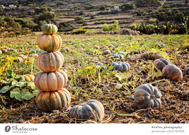 Pile of ripe pumpkins Vegetable Garden Decoration Thanksgiving Hallowe'en Nature Landscape Sky Autumn Fresh Green Pumpkin Harvest patch field Farm agriculture