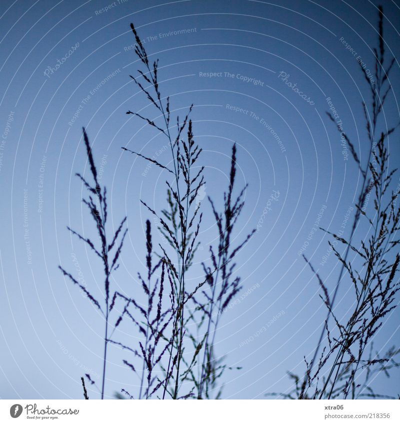 Nature Sky Blue Plant Grass Environment Blade of grass Beautiful weather Blue sky Copy Space