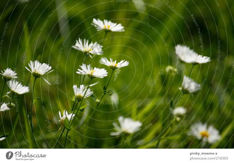 White Green Plant Yellow Blossom Grass Fresh Fragrance Daisy